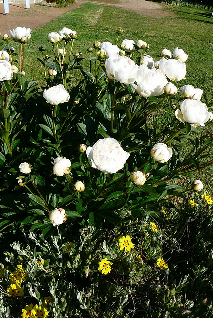 Peony and yellow flowers, Panasonic DMC-TZ1
