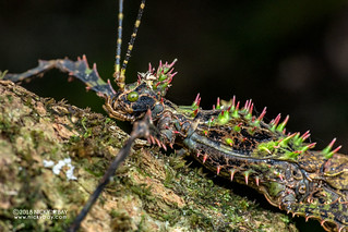 Thorny stick insect (Parectatosoma sp.) - DSC_0287