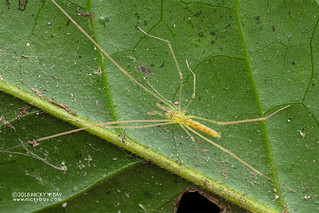 Long-legged sac spider (Donuea sp.) - DSC_2455