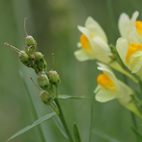 Linaria vulgaris - linaire commune 30838882068_def71ac0ba