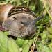 Cornu aspersa - Garden Snail 1140017