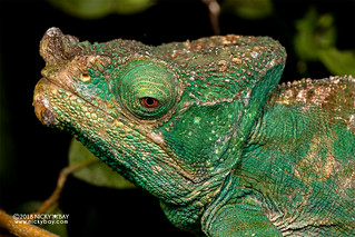 Parson's chameleon (Calumma parsonii) - DSC_0495