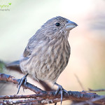House Finch♀