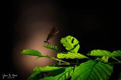 Caloptéryx éclatant femelle