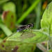 Hoverfly sp. - Platycheirus rosarum