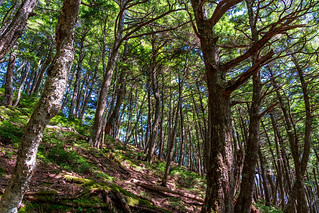 シラビソの樹林