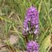 Dactylorhiza sp 1140112