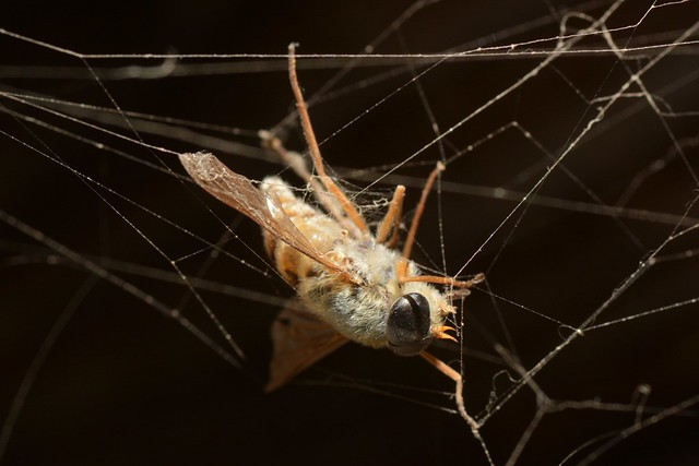 Deer Fly (Stonemyia, Tabanidae) caught in a tangled web