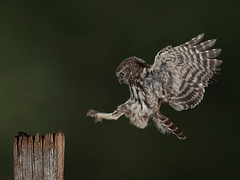 Owlet in flight