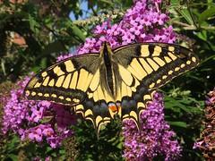 Koninginnenpage (Papilio machaon)