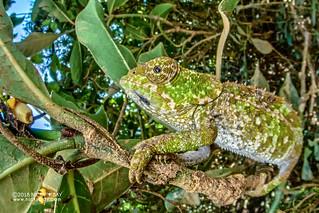 Cryptic chameleon (Calumma crypticum) - DSC_1670