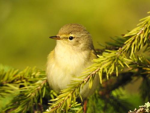 chiffchaff phylloscopuscollybita zilpzalp silksolk väikelehelind bird p900 nikoncoolpixp900