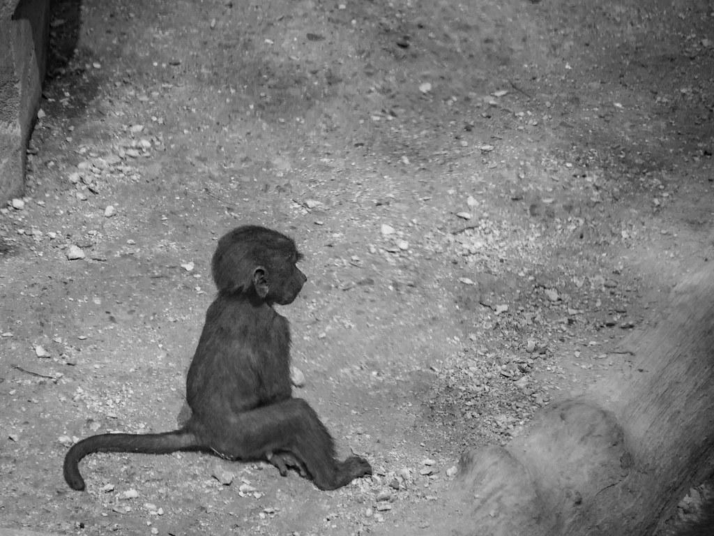 Le petit babouin... 44699998911_c1f369f7e8_b