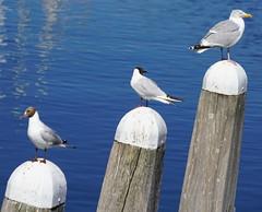 Sea Gulls at Veere (16)