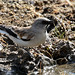 White-winged Snowfinch (48)