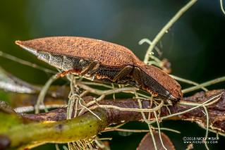 Click beetle (Agrypnus sp.) - DSC_2413