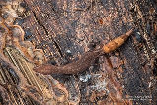 Madagascar clawless gecko (Ebenavia inunguis) - DSC_2342