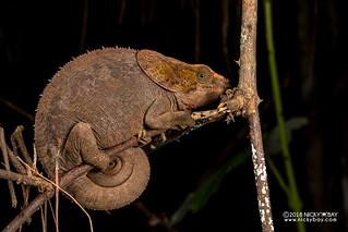 Short-horned chameleon (Calumma brevicorne) - DSC_8582
