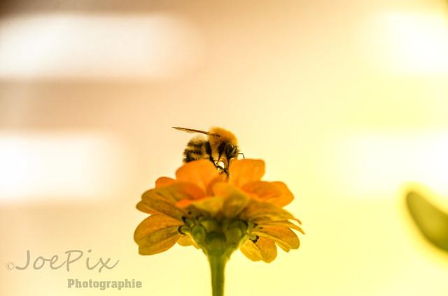 Bee on Flower, Nikon D5100, AF-S DX Zoom-Nikkor 18-135mm f/3.5-5.6G IF-ED