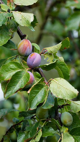 Plums ripening, Shottery