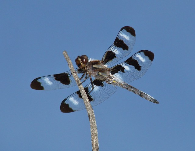 Twelve Spotted Skimmer, Sony DSC-H5