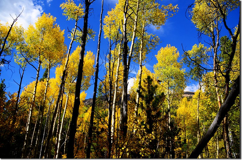Aspen leaves have already turned golden yellow along the trail (5)