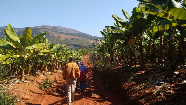 farmers walk through banana field