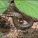 Grass Snake (image 2 of 3) by Full Moon Images
