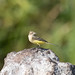 Yellow wagtail (Tealham Moor)