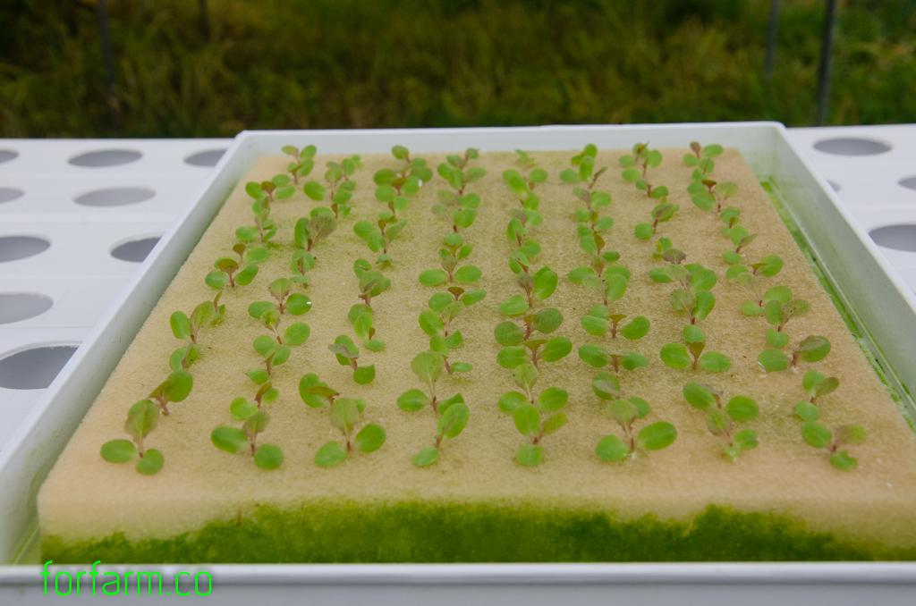 ฟองน้ำเพาะเมล็ด สำหรับปลูกผักไฮโดรโปนิกส์