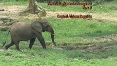 Forest Elephants 2a