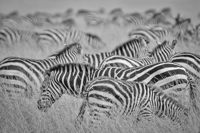 Zebra Patterns - Kenya, Nikon D300, AF VR Zoom-Nikkor 80-400mm f/4.5-5.6D ED