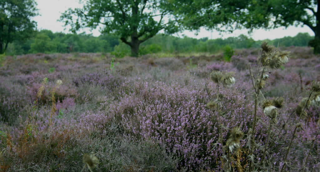 Holland heather fields, Dutch nature | Your Dutch Guide