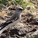 White-winged Snowfinch (74)