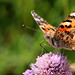 Painted Lady by robin denton