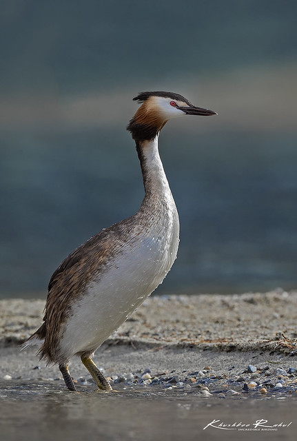 The great crested grebe, Canon EOS-1D X MARK II, Canon EF 800mm f/5.6L IS