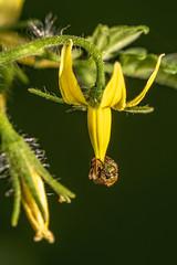 Bee on tomato