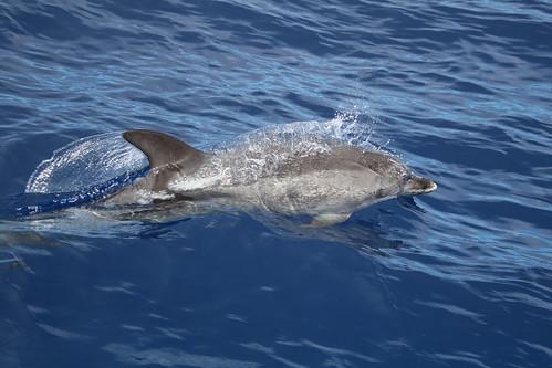Stenella frontalis - delfín manchado atlántico - atlantic spotted dolphin