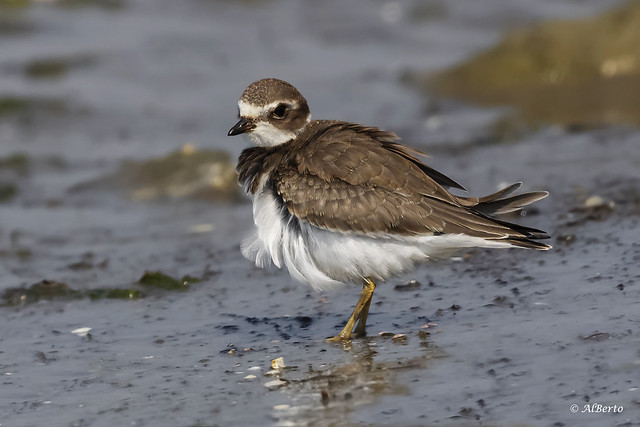 Semipalmated Plover / Pluvier semipalmé
