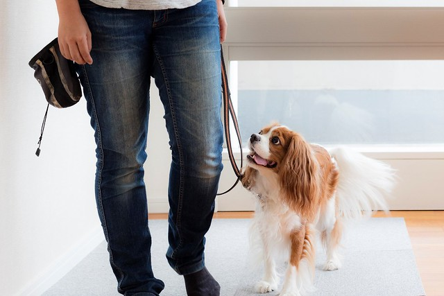 引っ張らずに歩けるように散歩の練習をする犬