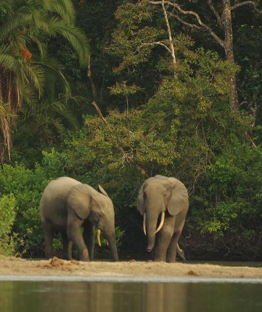 Two Elephants Emerge from the Rain Forest, Lekoli River, , Odzala-Kokoua National Park, Congo Republic  IMGP4494