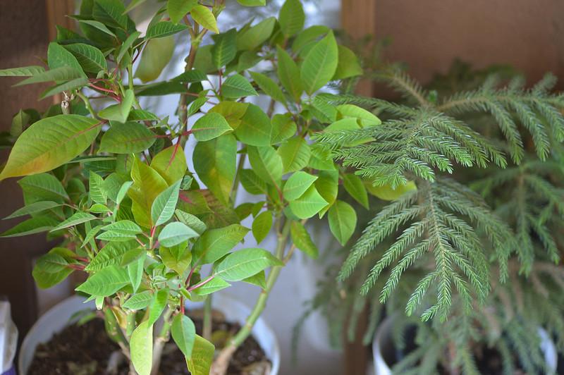 poinsettia & norfolk island pine