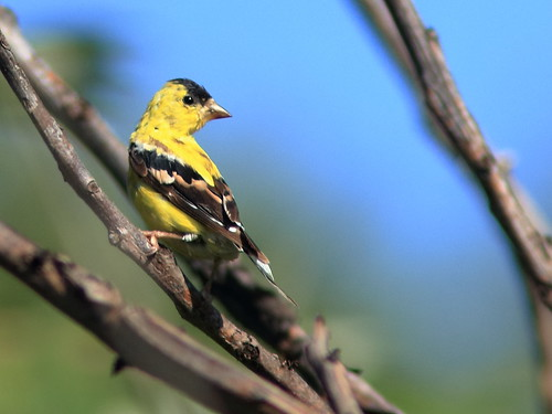 American Goldfinch 02-20180913