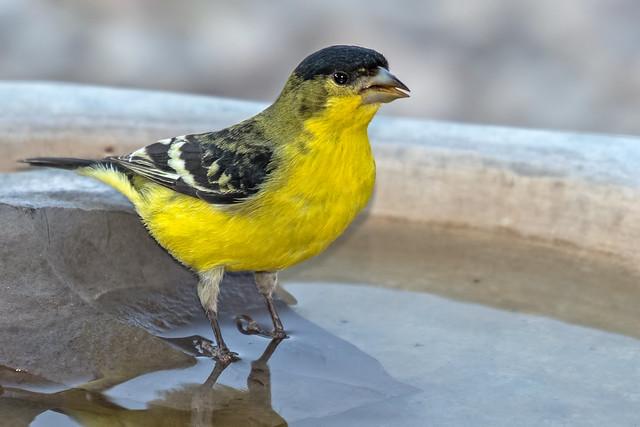 Lesser-Gold-Finch-38-7D2-073118
