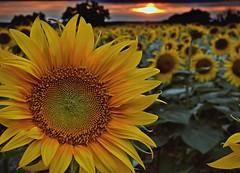 Sleepy Sunflowers