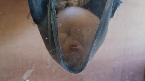 Sleeping ferret, Wilmcote