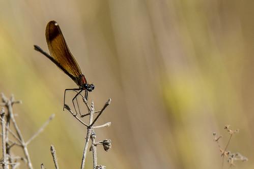 Copper demoiselle -  Calopteryx haemorrhoidalis - Koperen beekjuffer