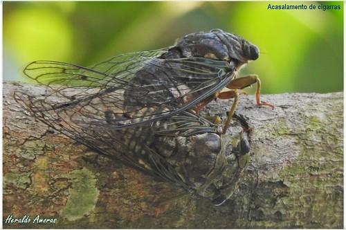 CIGARRA_Veio do termo latino CICARO e existem mais de 1500 tipos diferentes; o macho canta para atrair a fêmea; são os únicos, dentre os insetos que emitem som estridente_Monte Dourado-Pará-PA