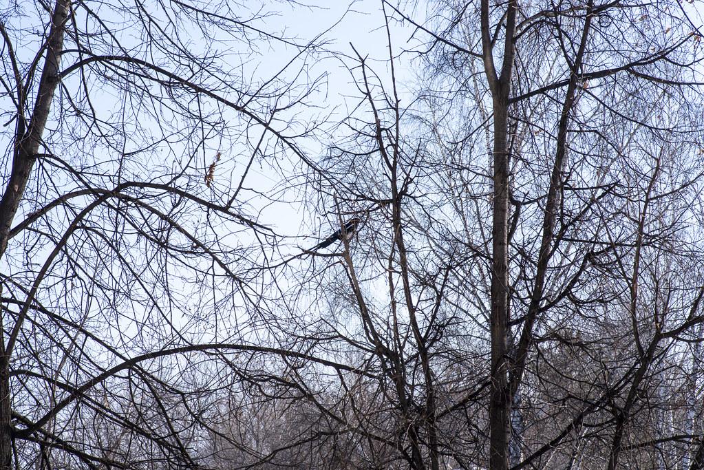 История гнезда. Сороки.