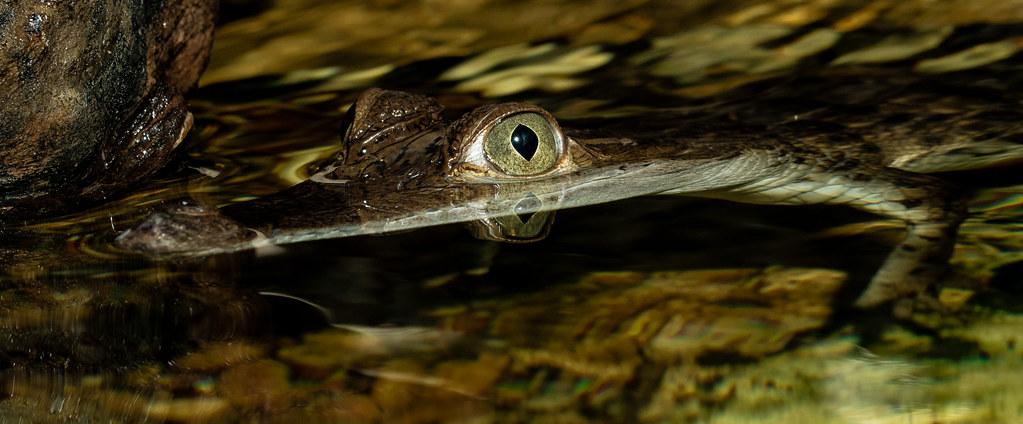 Mindoro Crocodile_2
